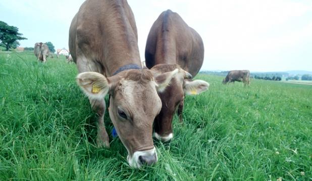 Kühe auf Weidegruenland (c) Okolandbau - Thomas Stephan