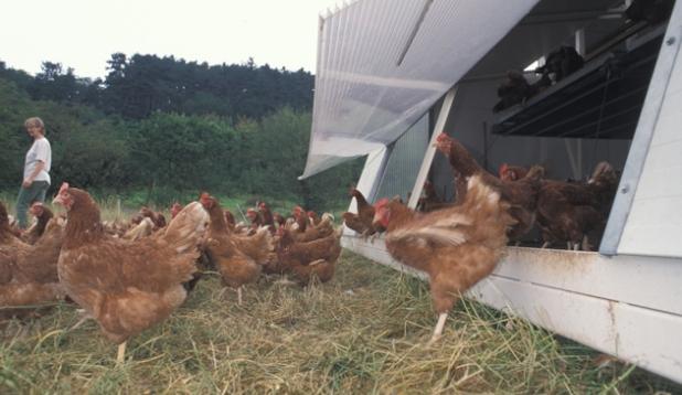 Hühner bei einem mobilen Hüherstall