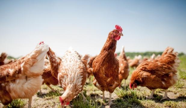 Freilaufende braune Hühner
