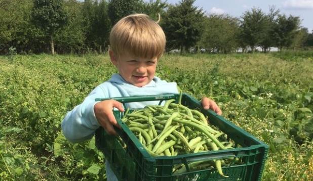 Kind trägt schwer an Kiste mit grünen Bohnen