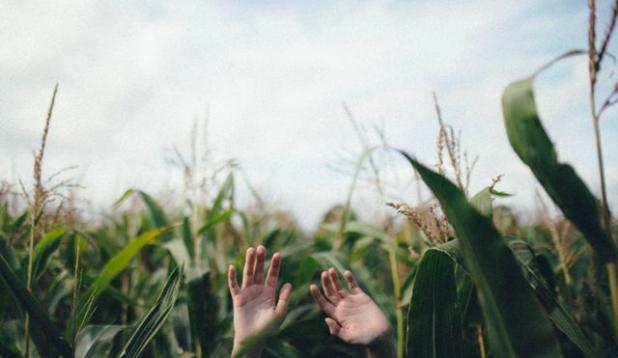 Hände in einem Maisfeld Bild: felix-russell-saw