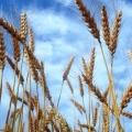 Bio-Weizen