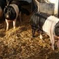 Bio-Schweine im Stall
