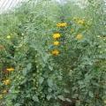 Tomaten aus Watzkendorf