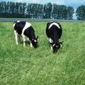 Schwarzbunte grasende Kühe mit Hörnern